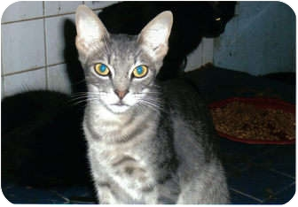 Domestic Shorthair Cat for adoption in Brownsville, Texas - Patrick