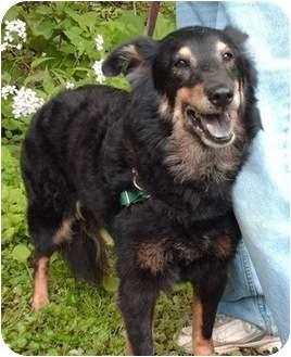 Sheltie, Shetland Sheepdog Mix Dog for adoption in Irwin, Pennsylvania - Kadie