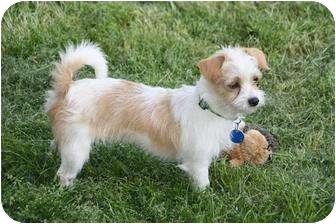 Terrier (Unknown Type, Small) Mix Dog for adoption in Edmonton, Alberta - Precious