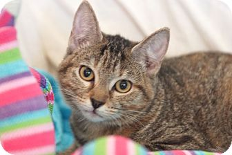 Abyssinian Cat for adoption in Houston, Texas - Sher