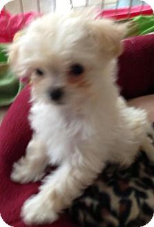 Maltese/Poodle (Miniature) Mix Puppy for adoption in Salt Lake City, Utah - DAISY