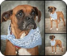 Boxer Dog for adoption in North Wales, Pennsylvania - JASMINE