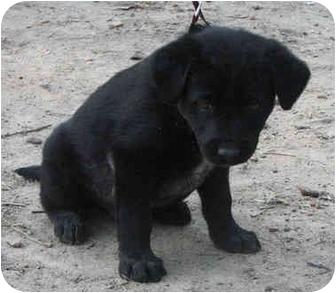 German Shepherd Dog/Hound (Unknown Type) Mix Puppy for adoption in Brattleboro, Vermont - Terry- adopted