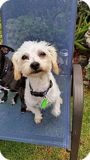 Maltese/Terrier (Unknown Type, Medium) Mix Dog for adoption in Topanga, California - Tilly