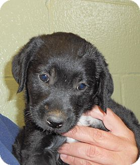Golden Retriever/Labrador Retriever Mix Puppy for adoption in MILWAUKEE, Wisconsin - STARR