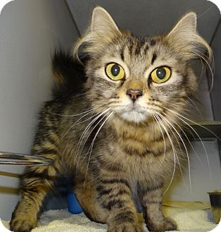 Maine Coon Cat for adoption in Lapeer, Michigan - HEATHER-CHECK OUT THOSE EARS!