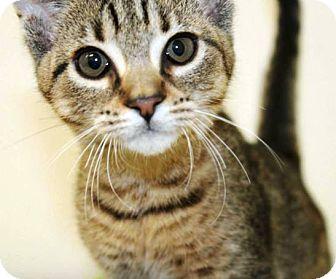 Domestic Shorthair Kitten for adoption in Kalamazoo, Michigan - Tempest