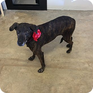 Greyhound Mix Dog for adoption in Hot Springs, Arkansas - Nancy