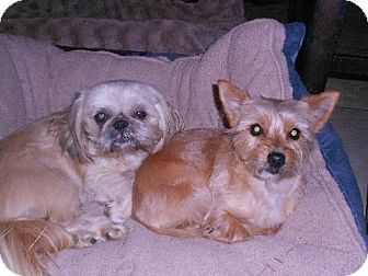 Yorkie, Yorkshire Terrier/Pekingese Mix Dog for adoption in Mountain Lakes, New Jersey - Cody n Kelly