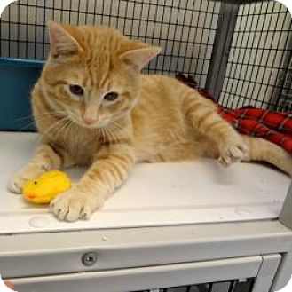 Domestic Shorthair Cat for adoption in Janesville, Wisconsin - Horatio