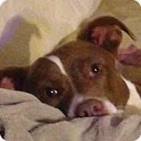 Adopt A Pet :: Buckles - Bakersville, NC