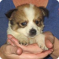 Adopt A Pet :: Olivia - Greenville, RI