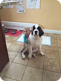 St. Bernard Puppy for adoption in Newtown Square, Pennsylvania - Teddy