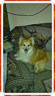 Pomeranian Dog for adoption in Duart, Ontario - Tinker
