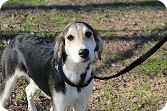 Hound (Unknown Type)/Shepherd (Unknown Type) Mix Dog for adoption in Conway, Arkansas - Jill
