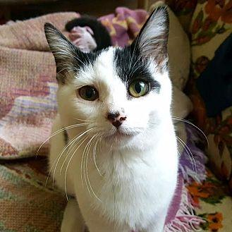 Domestic Shorthair Kitten for adoption in Huntsville, Alabama - Audrey