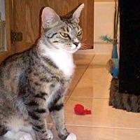 Domestic Shorthair Kitten for adoption in Las Vegas, Nevada - Wanda