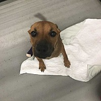 Staffordshire Bull Terrier/Hound (Unknown Type) Mix Dog for adoption in Mooresville, North Carolina - Paprika