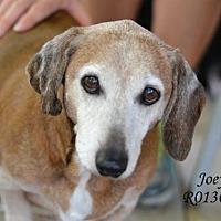 Adopt A Pet :: Joey - Montgomery, TX