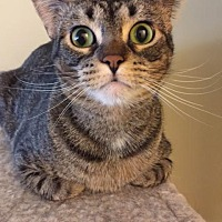 Adopt A Pet :: Trixie - O'Fallon, MO