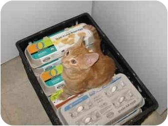 American Shorthair Cat for adoption in Tucson, Arizona - George