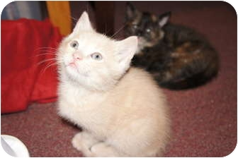 Domestic Shorthair Kitten for adoption in Xenia, Ohio - Eddie*PENDING