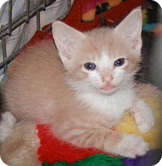 Domestic Shorthair Kitten for adoption in Reston, Virginia - Tracey
