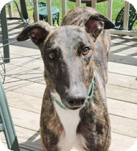 Greyhound Dog for adoption in Ware, Massachusetts - Mikey