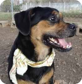 Pug/Beagle Mix Dog for adoption in Antioch, Illinois - Dolly
