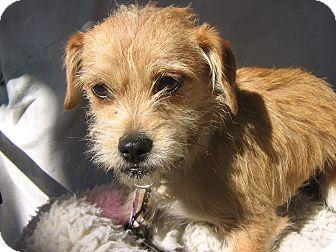 Cairn Terrier/Shih Tzu Mix Dog for adoption in Irvine, California - Aki