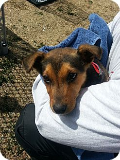 Shepherd (Unknown Type) Mix Puppy for adoption in Wichita Falls, Texas - Riley