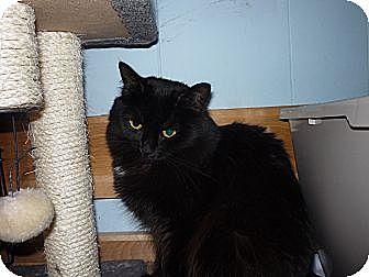 Domestic Mediumhair Cat for adoption in Salem, Oregon - Samantha
