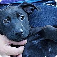 Adopt A Pet :: Vivian - South Jersey, NJ