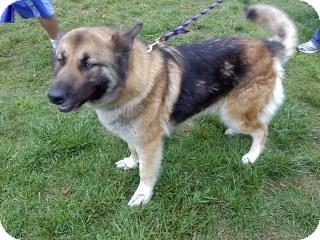 German Shepherd Dog Dog for adoption in Richmond, Virginia - Lassie