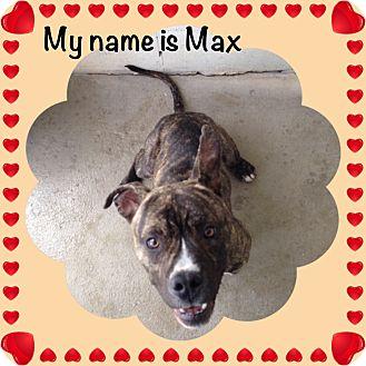 Bulldog/Pit Bull Terrier Mix Dog for adoption in Yerington, Nevada - Max