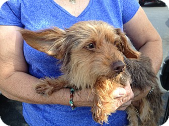 Terrier (Unknown Type, Small)/Yorkie, Yorkshire Terrier Mix Dog for adoption in Nuevo, California - RED