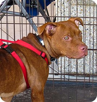 American Staffordshire Terrier/American Pit Bull Terrier Mix Dog for adoption in Holmes Beach, Florida - Donatella