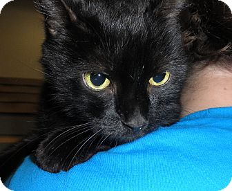 Domestic Shorthair Cat for adoption in Highland Park, New Jersey - Silky Walton