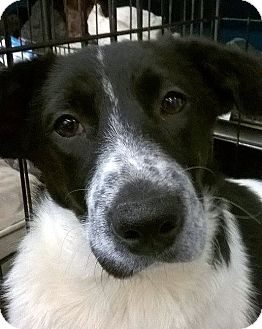 Border Collie/Spaniel (Unknown Type) Mix Dog for adoption in Olive Branch, Mississippi - Lil Debbie Cakes