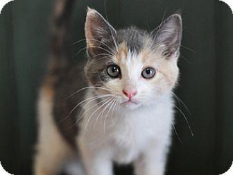 Domestic Shorthair Kitten for adoption in Great Falls, Montana - Simone