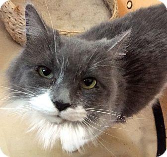 Domestic Longhair Cat for adoption in Cincinnati, Ohio - Lulu: Jack's Pets, WH