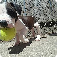 Adopt A Pet :: Sprocket - Gainesville, FL