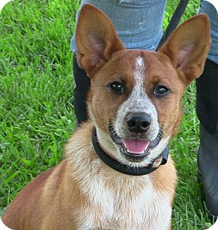 Corgi/Australian Cattle Dog Mix Dog for adoption in Texico, Illinois - Wyatt