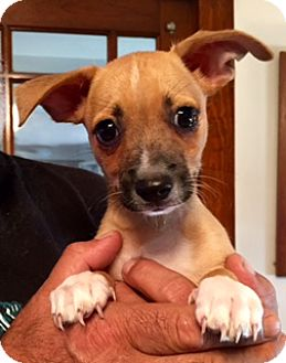 Chihuahua Mix Puppy for adoption in ST LOUIS, Missouri - NACHOS