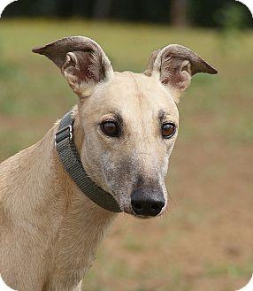 Greyhound Dog for adoption in Portland, Oregon - Santa