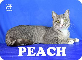 Domestic Shorthair Cat for adoption in Carencro, Louisiana - Peach