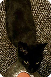 Domestic Shorthair Cat for adoption in Caro, Michigan - Putzo