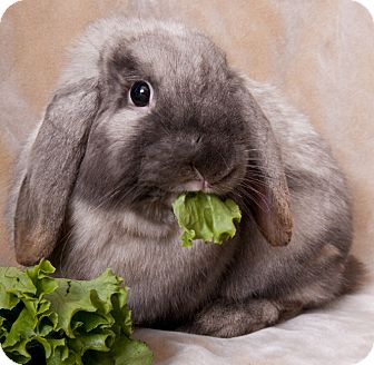 Lop-Eared Mix for adoption in Chicago, Illinois - Pad Thai