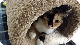 Domestic Shorthair Kitten for adoption in East Hartford, Connecticut - Ariel (in CT)