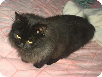 Domestic Longhair Cat for adoption in Greensboro, North Carolina - Winnie